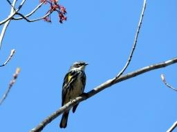 Yellow-rumped Warbler. 4/29/16
