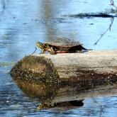 Painted turtle sunning. 4/29/16