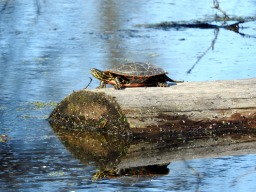 Painted turtle sunning. 4/29/16