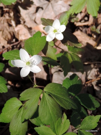 A typicaly wood anemone plant.