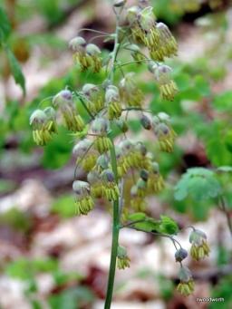 In Bloom - Male Flowers