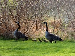 Be watchful for goslings! 5/5/15