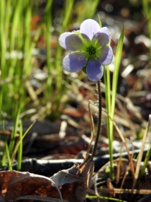 Hepatica flowers are in our woods now. 5/1/16