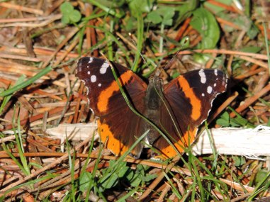 Red Admiral Butterfly. 5/9/15