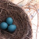 Robin eggs at HDT! 5/2/16