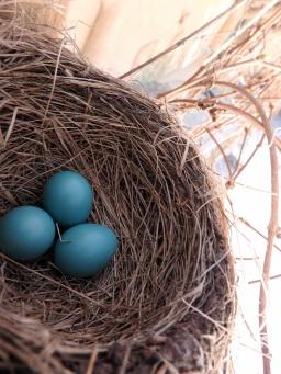 Robin eggs at HDT! 5/2/16