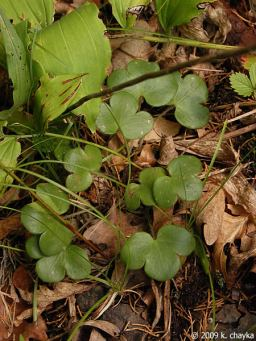 Round-lobed Hepatica Leaves.