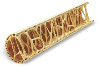 """The """"struts"""" in the bone help provide support to the relativley hollow bone structure."""