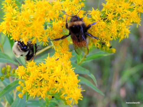 Currently, there is a project going on called the Minnesota Bee Atlas, to determine just how many species of bees live in MN. The record is very incomplete. There are many types of bees in MN, & they all play important roles. There are over 20 species of bumblebees, which are important native pollinators.