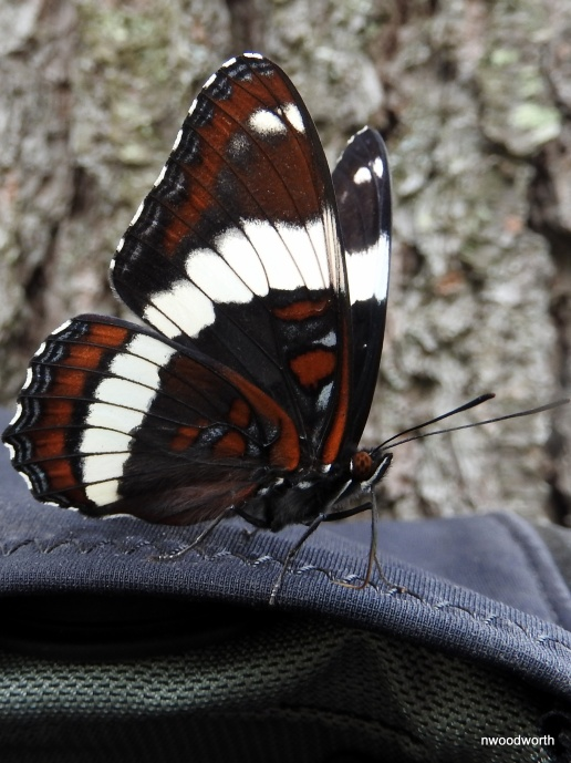 White admiral butterflies have an atypical diet for butterflies. They feed on mammal scat, bird guano, puddles, and aphid honey. This butterfly has found a meal from the sweat on my hiking pack.