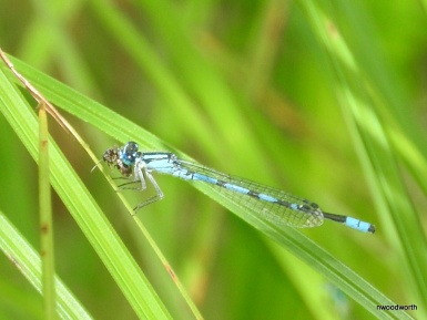 Damselflies are often mistaken for dragonflies. They can be differentiated by their slender bodies, wings held over their back instead of out to the side, and their weak, fluttery flight. This Familiar Bluet is one of our most common damselflies.