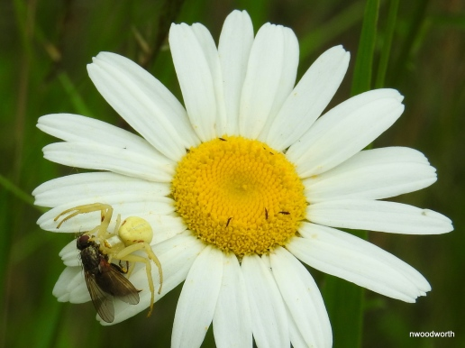 "Crab spiders are a ""wait & ambush"" predator, relying on camoflauge as they silently wait for prey to pass. This goldenrod crab spider can often be found on goldenrods & daiseys, & are capable of changing color to match the flower."