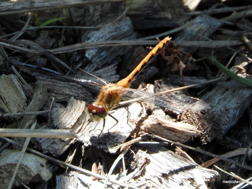 Meadowhawk dragonflies abound during August in grassy meadows, marshes, & lakeshores. Mature males are typically red, while females & juveniles are yellow-brown. Species are very difficult to tell apart.