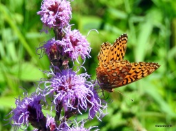 Butterflies abound on our wildflowers & in our gardens this month. Butterfly species have different life strategies for surviving winter. Some migrate & some overwinter as eggs, or larvae, or even as adults. This Aphrodite fritillary will lay eggs in the fall, the caterpillars will hatch & overwinter until spring, when they will wake with voracious appetites!