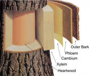 """The """"heartwood"""" of a tree is the dead xylem tissue from previous years."""