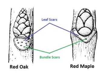 leaf-scars
