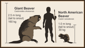 """Millions of years ago in North America, there was a """"giant"""" beaver - can you imagine?! (Photo Credit: Todd Kristensen)"""