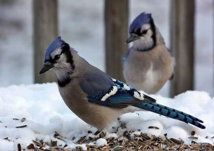 This blue jay lands on the feeder, throat empty.
