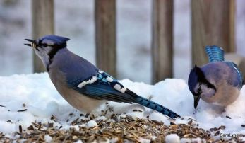 Starts gathering seeds & storing in gular pouch.