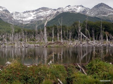 Flooded areas from dams create beaver ponds, soemthing that have not traditionally been part of this ecosystem