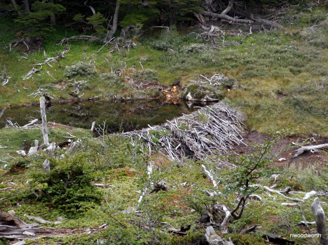 Beaver dams are everywhere throughout Tierra del Fuego