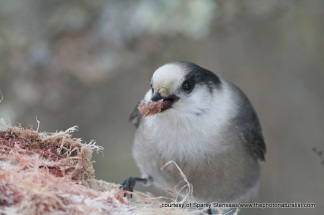 grayjay-with-meat