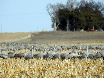 You can find hundreds of them grouped together, feedding and dancing in nearby ag fields.
