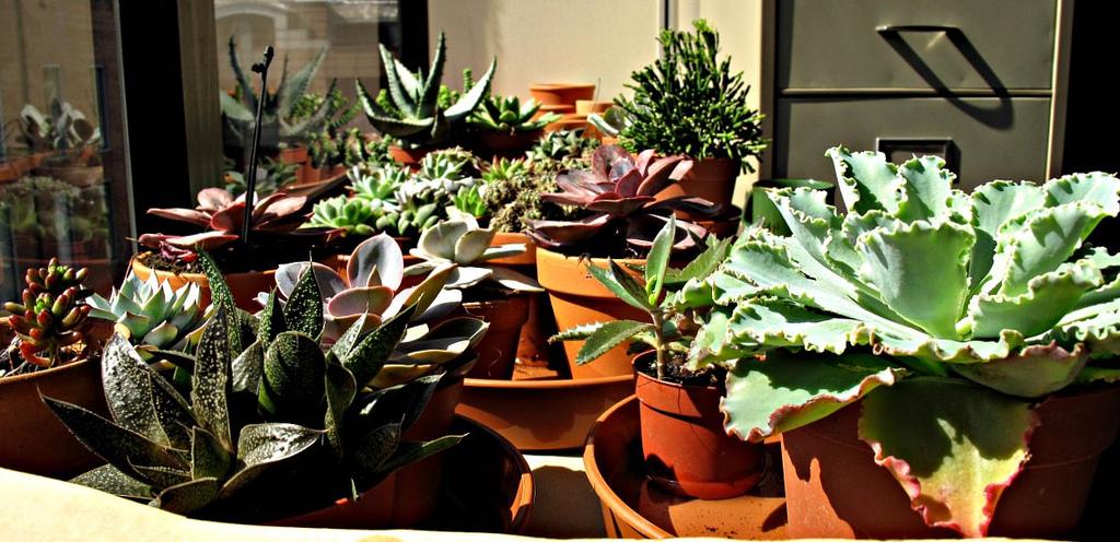 succulentindoors