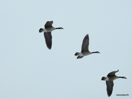 Hundres of Canada geese flying overhead.