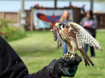 An educational American Kestrel, unable to be released into the wild.