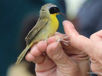 Common Yellow Throat about to be released after banding.