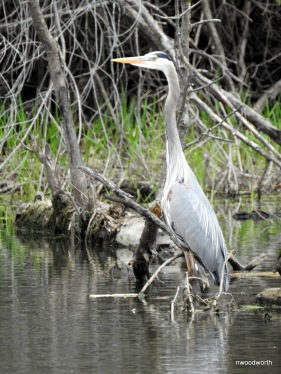 Great Blue Heron wading in search of food.