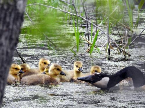 Canada Goose defending her new goslings.