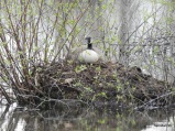 Canada Goose on the nest!