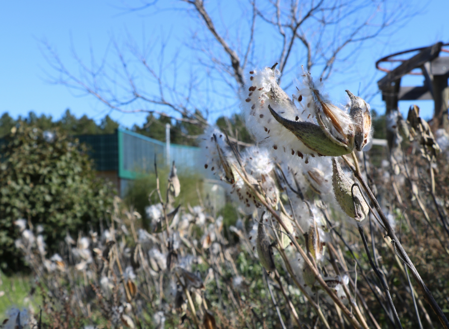 milkweed