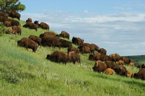 buffalo-herd-ernie-echols
