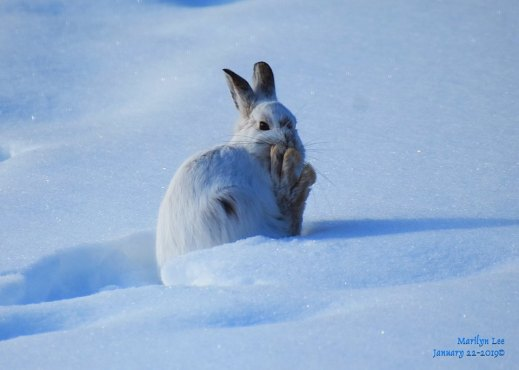 Their huge feet help them keep above the snow. Photo: Marilyn Lee