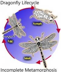 dragonfly_life_cycle