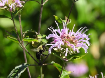 Bumbleebees love the Wild Bergamot at HDT!