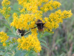 The bumblebees love the Goldenrod, too!