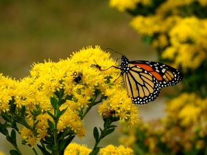 HDT's Goldenrod is always filled with pollinators!
