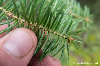 Flat needles that appear to be attached directly to the twig are from a FIR tree.