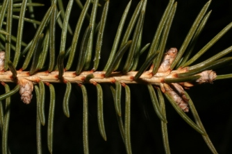 Rounder needles that appear to be attached to the twig by a peglike base are from a SPRUCE tree.